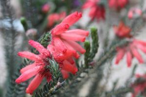 Erica cerinthoides Trewidden Nursery
