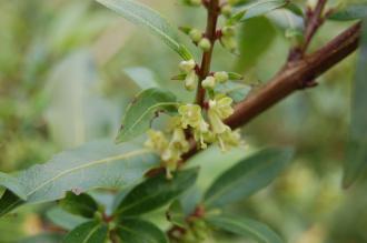 Lonicera pileata Flower (19/04/2014, Kew Gardens, London)