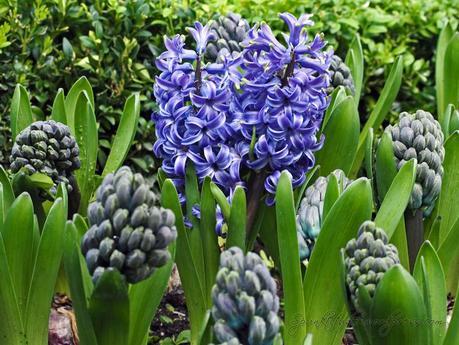 Tulipmania 2014 - Single Blooms