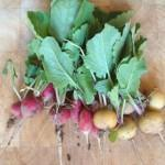 Radishes fresh from Plot Twentynine
