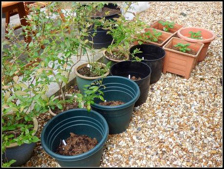 Tomatoes potted-on