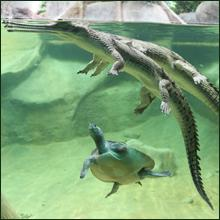 A view of a gharial in a tank
