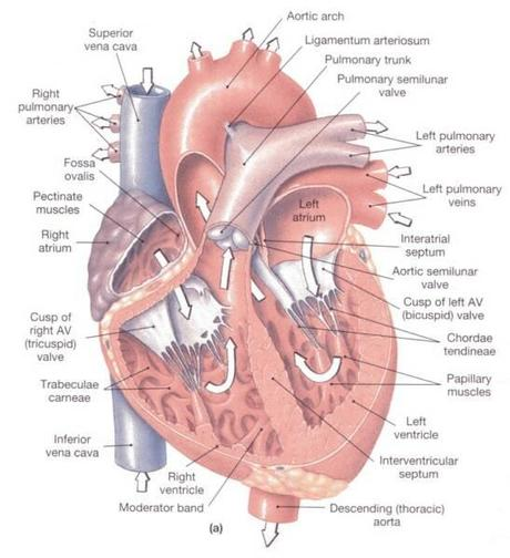Dog Heart Defects