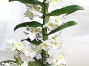 Care Instructions Dendrobium Orchids