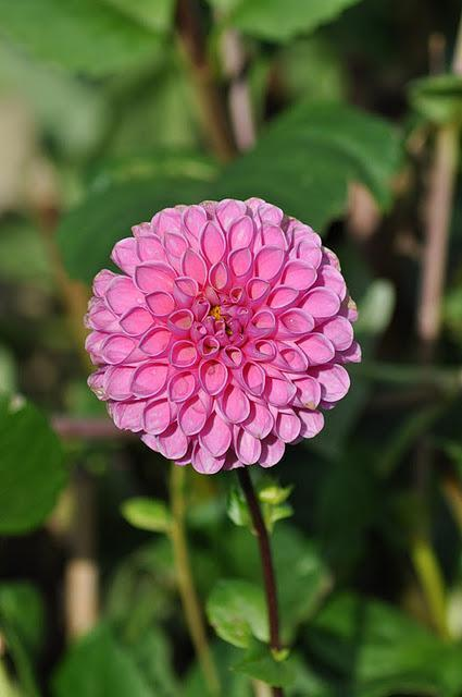 Dahlias: To Store or Not to Store?