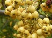 Plant Week: Cotoneaster Salicifolius 'Rothschildianus'