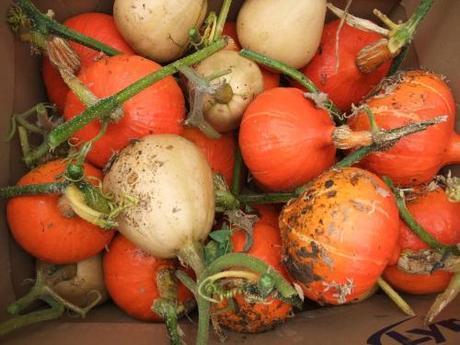 My squash crop