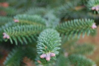 Abies pinsapo detail (12/11/2011, Kew, London)
