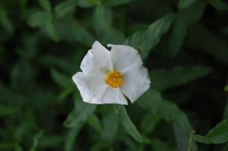 Cistus x laxus flower (12/11/2011, Kew, London)