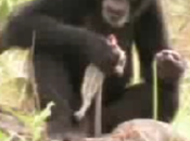 Could Chimps Take Over World?