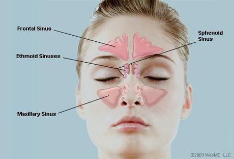 Picture of the Human Sinuses