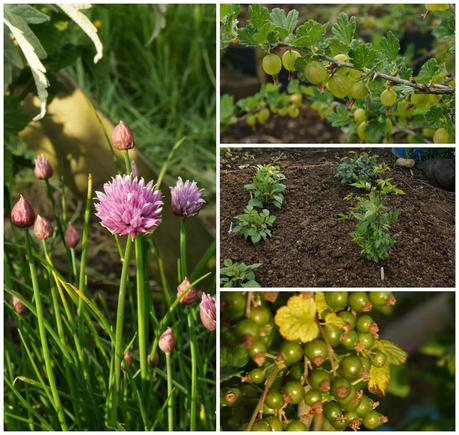 chives, gooseberries, blackcurrants plus new dahlias and roses in place - 'growourown.blogspot.com' ~ an allotment blog