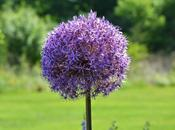 Visitor Allium