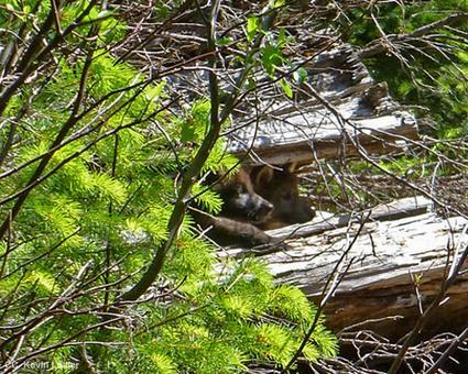 California Gives ESA Protections to Lone Wolf and His Pups – Animal Legal Defense Fund
