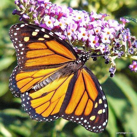 Habitat loss in U.S. blamed for decline of monarch butterflies