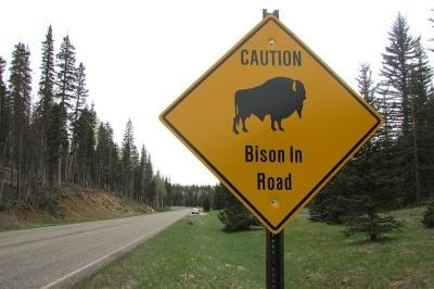 It's rare, but occasionally vehicle collisions with bison do happen. Photo: Carrie Jung