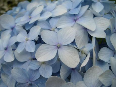 Care tips for potted hydrangeas paperblog - Care potted hydrangea ...