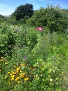 Wild Flower Meadow - Lodmoor