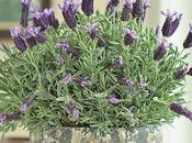 Care Potted Lavender