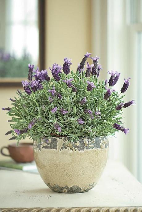 how to care for potted lavender paperblog. Black Bedroom Furniture Sets. Home Design Ideas