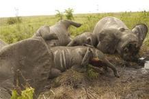 Military-style attacks in DRC result in 68 elephant deaths