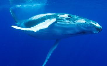 research paper on commercial whaling What follows is a hypothetical example of a research paper based on an experiment.