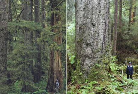Geos Institute – Phase Out of Tongass Old-Growth Logging Can Begin Immediately