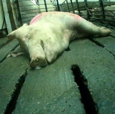 Undercover Exposé–Pigs Suffer and Die at Top Breeder
