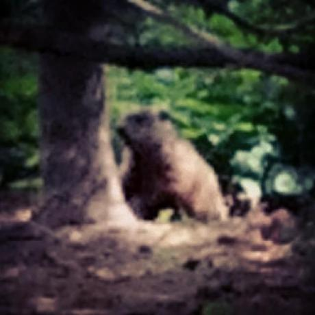 Watching a Woodchuck chucking wood.