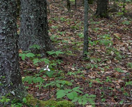 Painted Trillium in the Woods © 2014 Patty Hankins