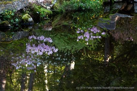 Azaleas Reflections at Asticou Azalea Gardens  © 2014 Patty Hankins