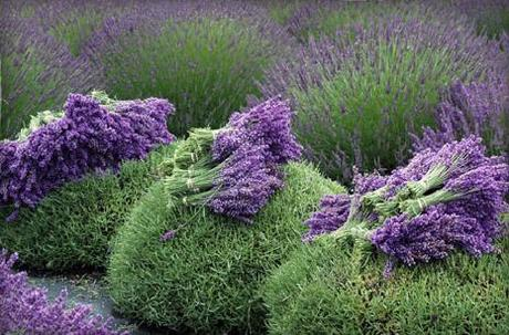 Lavender-flower-harvest