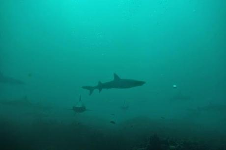Eerie reef sharks in the Galapagos