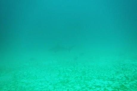 Galapagos hammerheads off in the distance and garden eels below