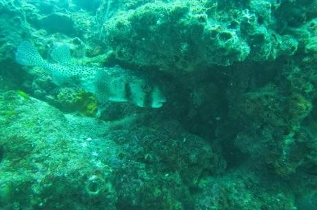 Massive puffers in the Galapagos