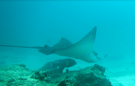A massive eagle ray in the Galapagos, also known as Mr Ray
