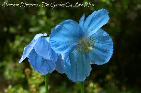 Himalayan Poppies Meconopsis Abriachan Nurseries