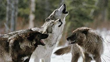 Stop the execution of Siberian wolves