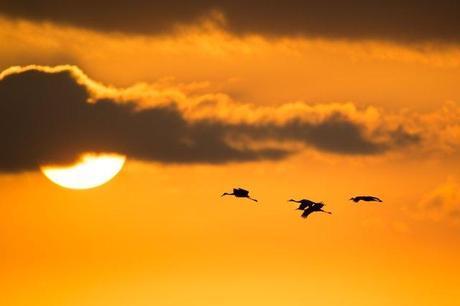 Four-Sandhill-Cranes-at-PPSP-Sunset-3
