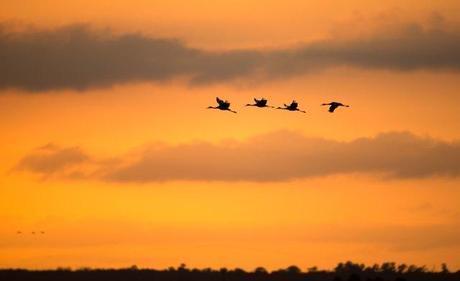 Four-Sandhill-Cranes-at-PPSP-Sunset