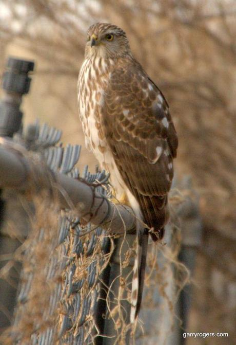 New study shows that migration flyways and winter destinations of sparrows are unique to each bird