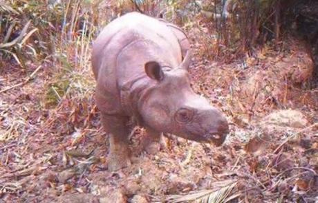 Invasive Palm Threatens Java Rhino To Extinction