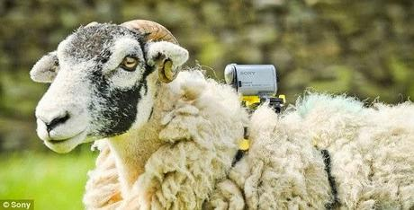Tour de France ..... 'ewe's' view of the proceedings !!
