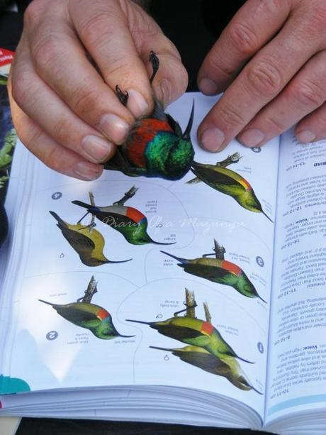 Identifying a Sunbird, Birdwatching Uganda