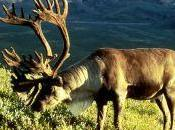 Climate Change Will Alter Fire Patterns Caribou Distribution