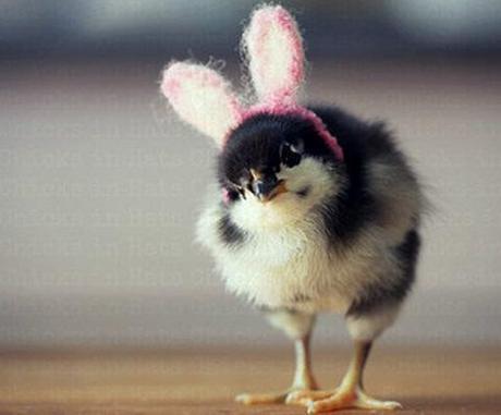Baby Chick Wearing Bunny Rabbit Ears