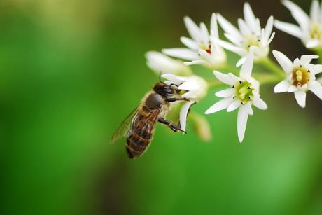 Bees Buzz Off: The decline of bees and what it means for us