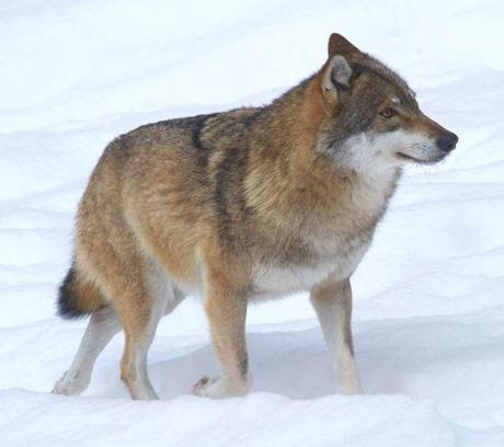 Help Gray Wolves Recover Protection Status