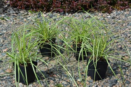 Carex and Ajuga