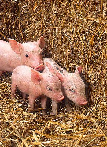 More piglets from http://www.ars.usda.gov/is/g...